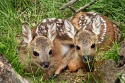Nuove nascite al Parc Animalier di Introd, in Valle dAosta (